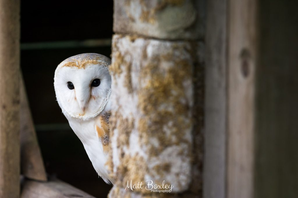 Beautiful Barn owl in a natural setting