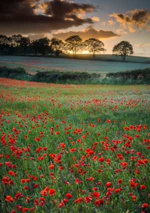Purchase your poppy field sunset print