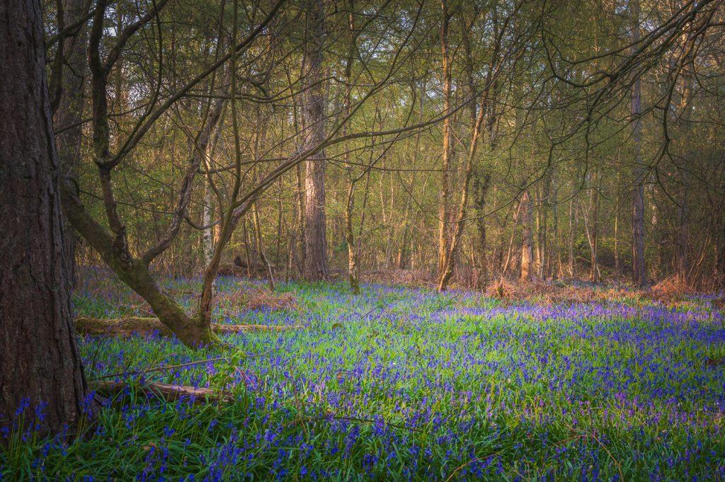 Carpet of Woodland Bluebells